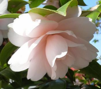 八重咲きの椿2.JPG