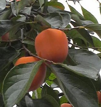 柿.JPG