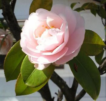 八重咲きの椿1.JPG